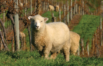 sheep vineyard crop