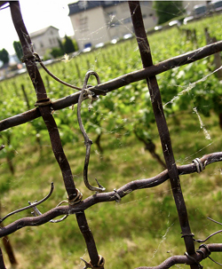 vineyard fence