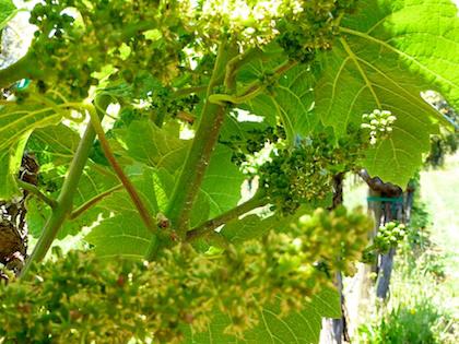 grapevine flowering