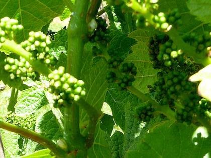 grapevine pre flowering