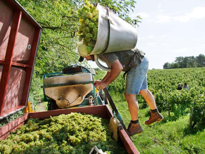 wine grape harvest basket