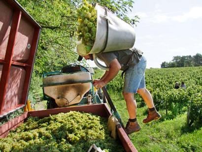 wine grape harvest basket