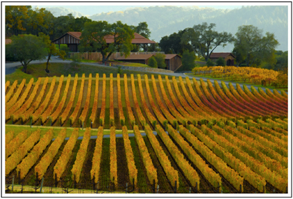 vineyard california