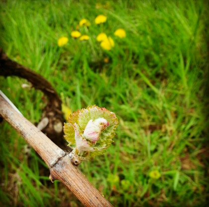 burgundy vineyard budbreak